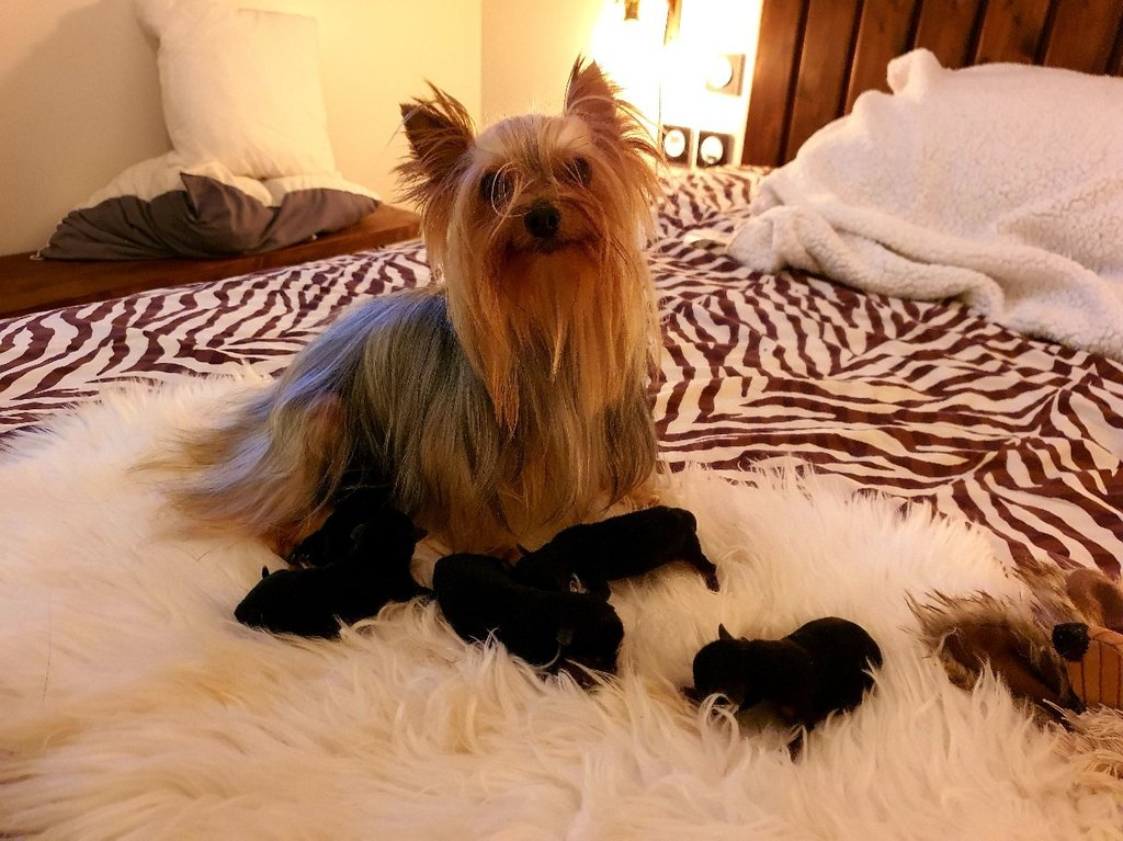 yorkshire terrier chiot male